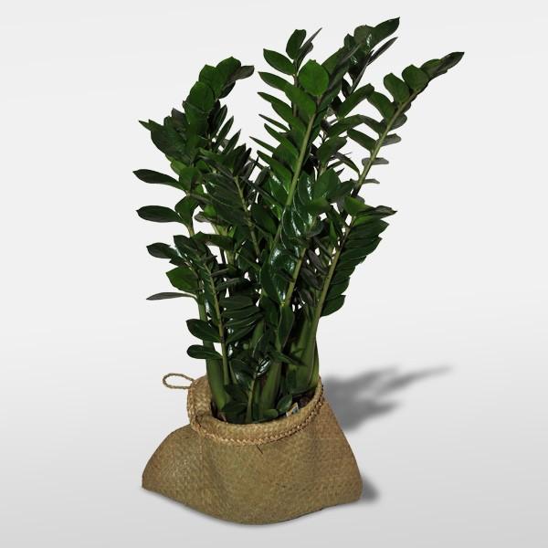 Piante Verdi Da Appartamento Zamioculcas.Pianta Verde Fiorista Tonino